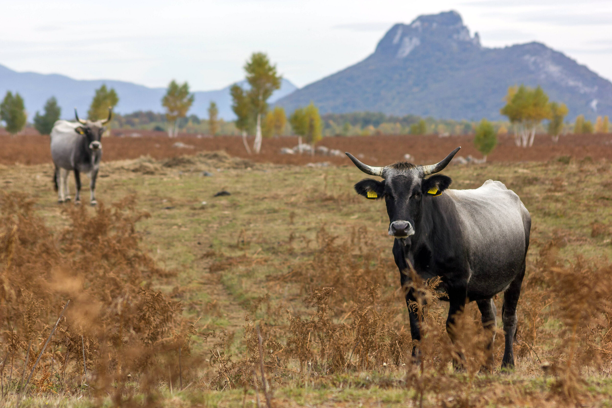 Large herbivores grazing in Lika Plains are already adapted to the harsh weather conditions of Velebit Mountains.  Photo credit: Nino Salkić/Rewilding Velebit.